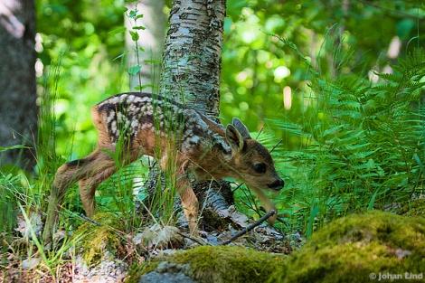 Rådjurskid i skogen
