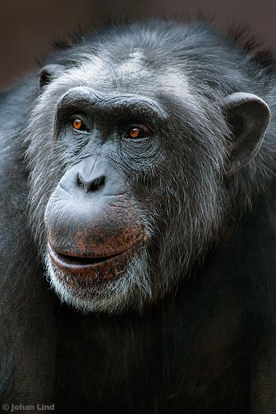 Schimpans på djurpark