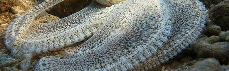 8-armad bläckfisk
