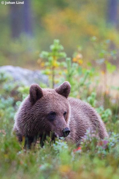 Björnbild