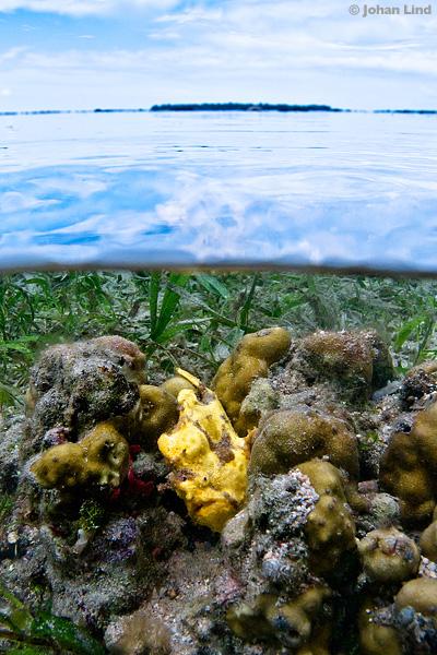Ulk på korall