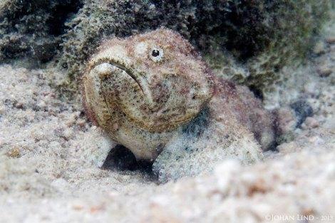 Djävulsskorpionfisk