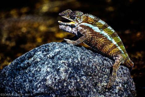 Panterkameleont i bäcken