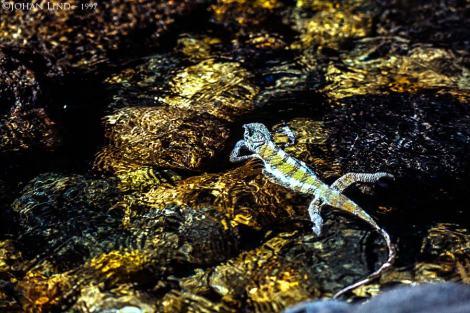 Kameleont simmar