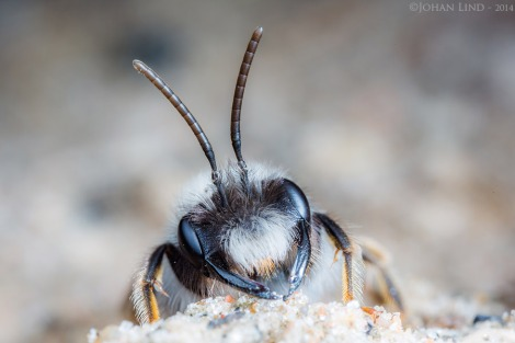 Andrena vaga
