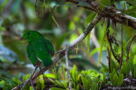 Smaragdbrednäbb