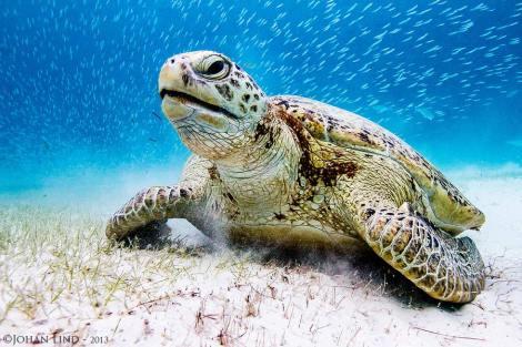 Soppsköldpadda
