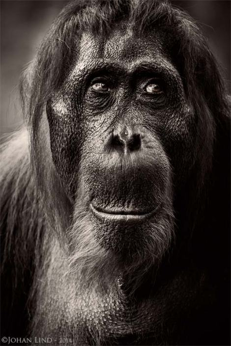 Orangutanghona