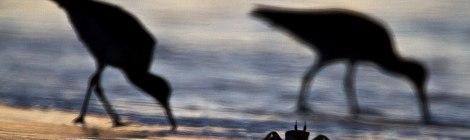 Krabba och soluppgång