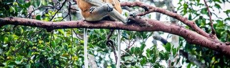 Apor med stora magor och näsor