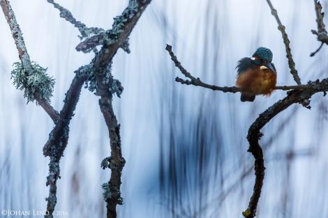 Kungsfiskare i träd